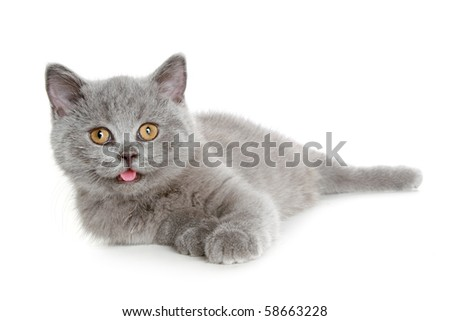 British kitten isolated on a white background