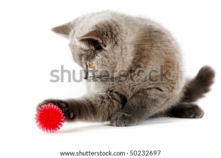 British kitten isolated on the white