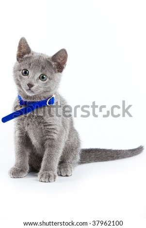 British kitten isolated on white - stock photo