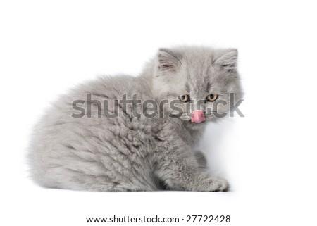 british kitten licking it's nose isolated - stock photo