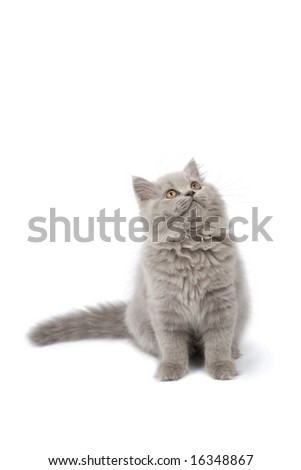 british kitten looking up isolated - stock photo