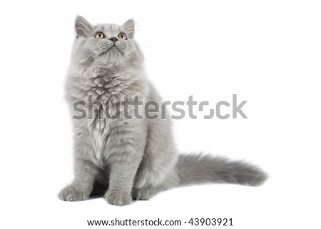 british kitten looking up isolated - stock photo