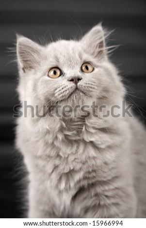 british kitten looking up over black background - stock photo