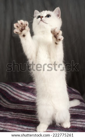 British kitten of white color  - stock photo