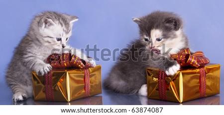 British kitten on blue background - stock photo