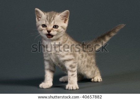 British kitten on gray background