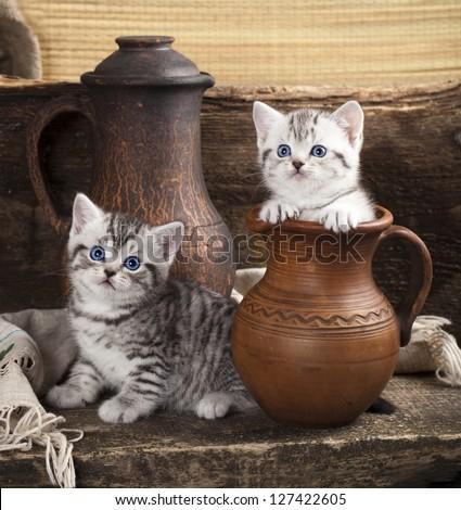British kitten on retro background - stock photo