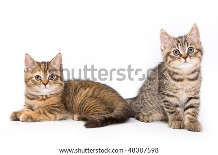 British kitten on white background - stock photo