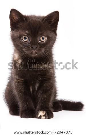 British kitten on white background - stock photo