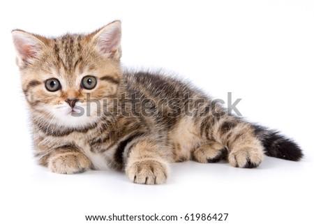 British kitten on white backgrounds - stock photo