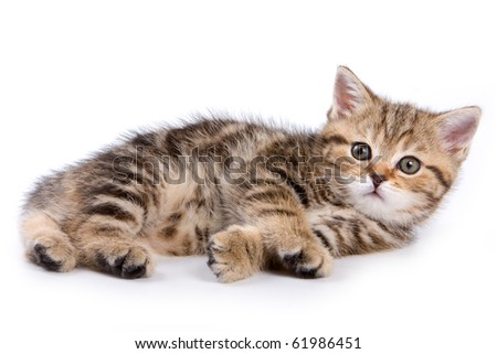 British kitten on white backgrounds - stock photo
