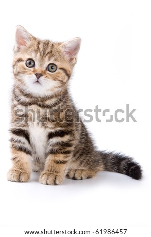 British kitten on white backgrounds