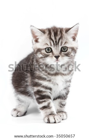 British kitten on white backgrounf