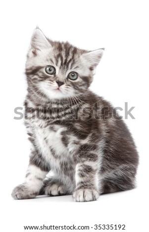British kitten on white backgrounf - stock photo