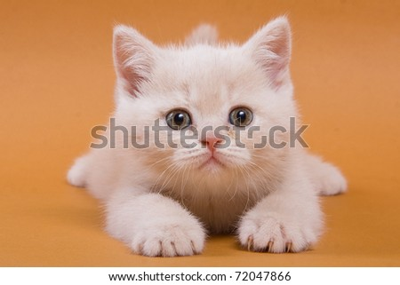 British kitten on yellow background - stock photo