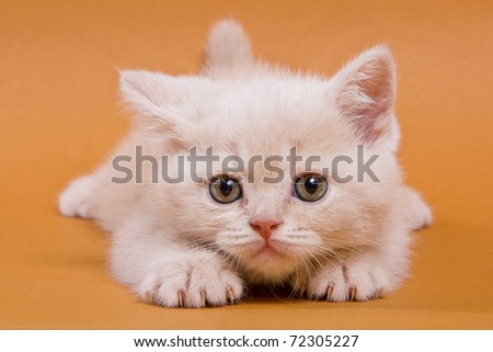 British kitten on yellow background - stock photo