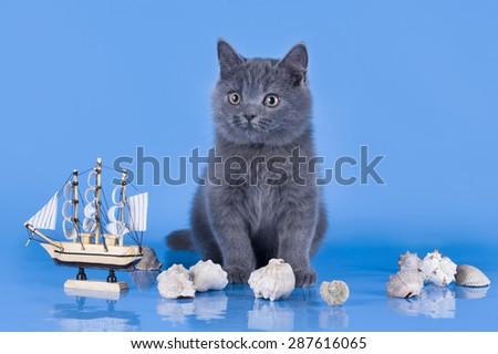 British kitten playing with a ship on the blue background isolated - stock photo