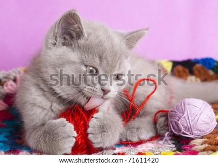 British kitten  rare color (lilac) - stock photo