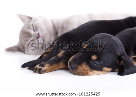 British kitten rare color (lilac) and puppies dachshund - stock photo