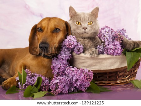 British kitten rare color (lilac) and puppy red dachshund, cat and dog - stock photo
