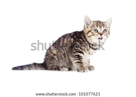 British kitten showing tongue isolated