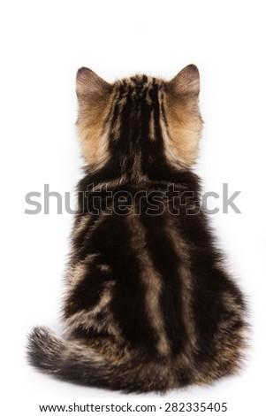 British kitten sitting back  (isolated on white) - stock photo