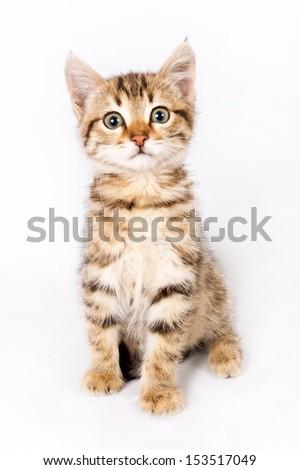 British kitten sitting on isolated white background - stock photo