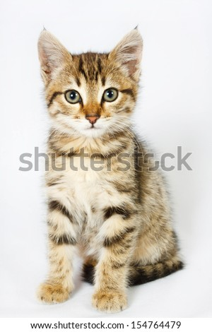 British kitten sitting on isolated white background - stock photo