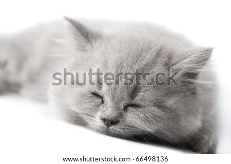 british kitten sleeping isolated - stock photo