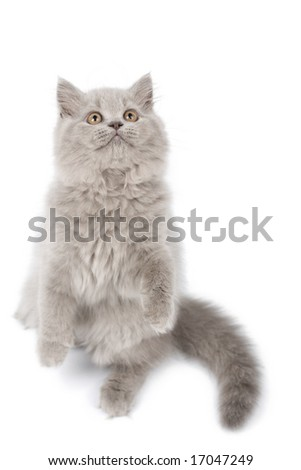 british kitten standing on it's paws looking up isolated