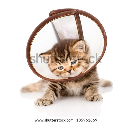british kitten wearing a funnel collar. isolated on white background - stock photo