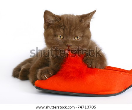 British kitten with red shoes on a white background. - stock photo