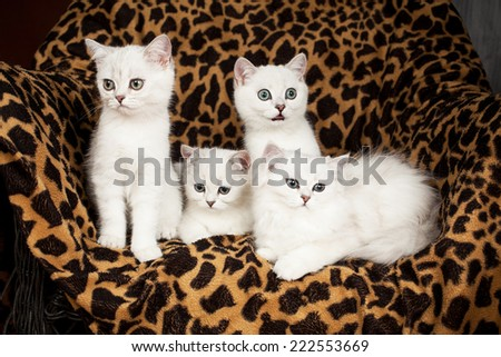 British kittens of white color  - stock photo