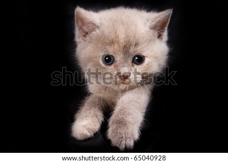 British kittens on black backgrounds