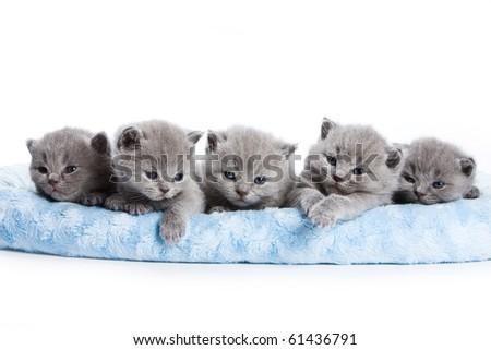 British kittens on white backgrounds - stock photo