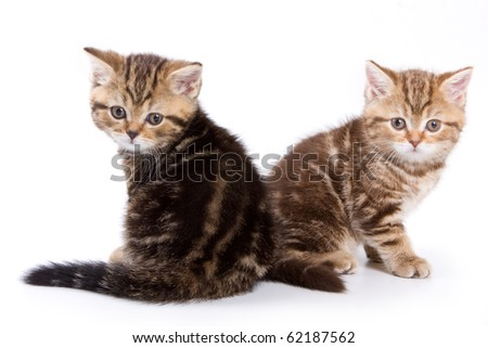 British kittens on white backgrounds - stock photo