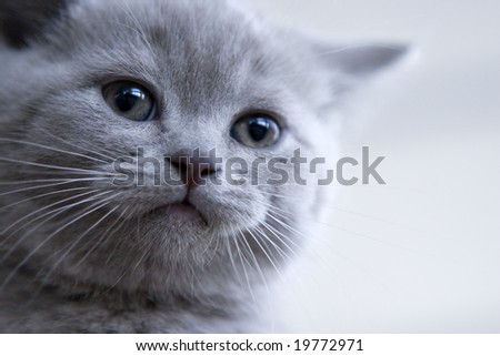 British little blue kitten