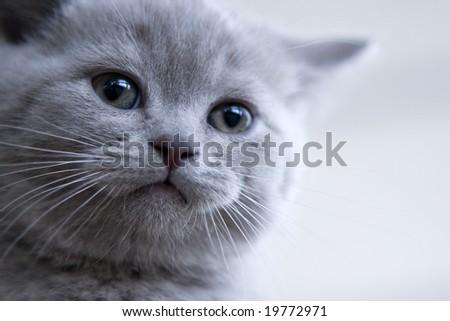 British little blue kitten - stock photo