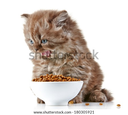 British long hair kitten and cat food - stock photo