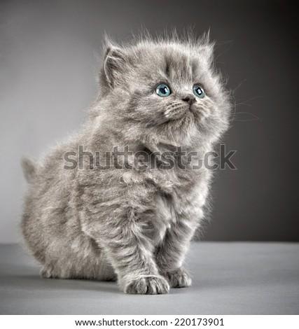 british long hair kitten on grey background - stock photo