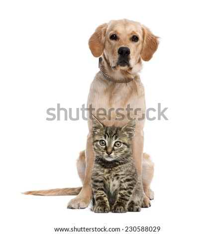 British Longhair kitten sitting in front of a golden retriever - stock photo