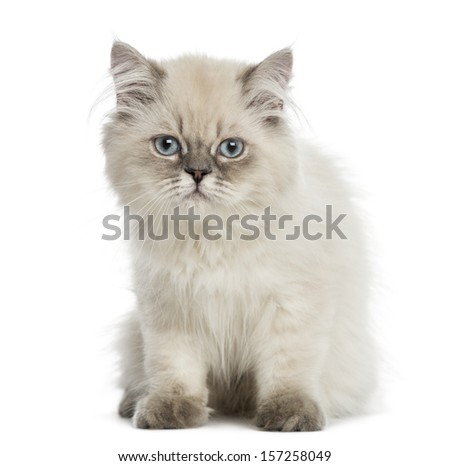 British Longhair kitten, sitting, staring at the camera, 5 months old, isolated on white