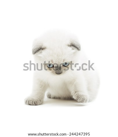 British lop-eared kitten on a white background isolated - stock photo