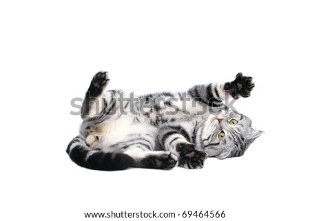 British Short Hair cat - stock photo