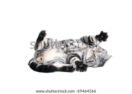 British Short Hair cat - stock photo