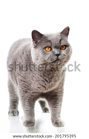 British short hair cat isolated on white