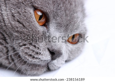 British short hair cat on a white bed sheets - stock photo