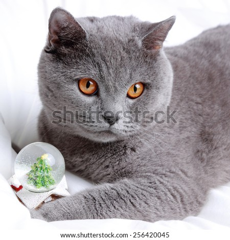 British short hair cat on a white bed sheets on Christmas - stock photo