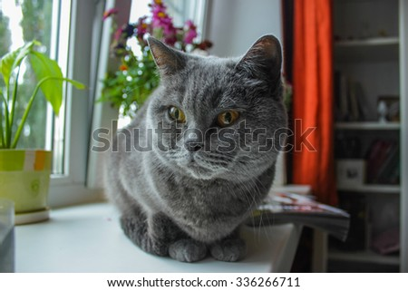 British Short-hair cat on a window sill with flowers