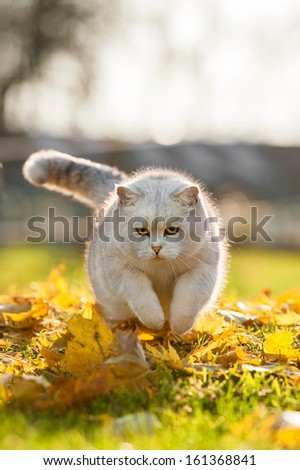 British short-hair cat playing in autumn - stock photo
